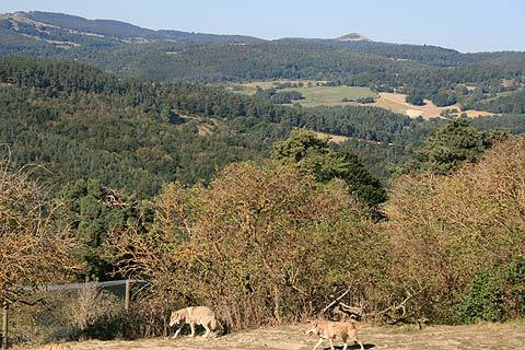 Photo de Les loups du Gévaudan en Massif Central (Languedoc-Roussillon region)