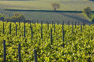 Vines in Anjou