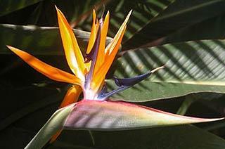 fleur d'Oiseau du paradis dans le jardin exotique de Roscoff