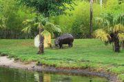 dwarf-hippo