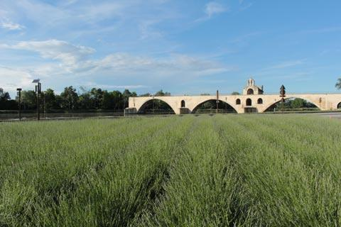 Field of lavender next to Pont Saint-Benezet