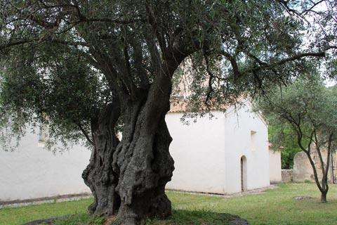 ancient olive tree