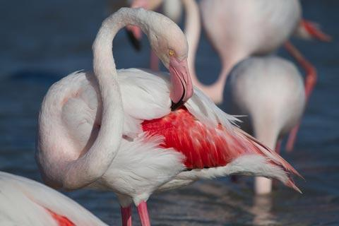 wild flamingoes in the Camargue regional natural park