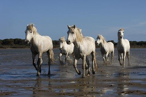famous wild horses of the Camargue