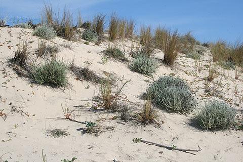 Dunes de sable à Carcans