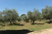 olive-plantation