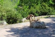 gorges-goats