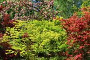 japanese-acers