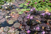 tropical-waterlilies