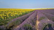 lavender-sunflower