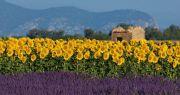 lavender-sunflowers