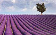 lavender-tree