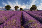 lavender-trees