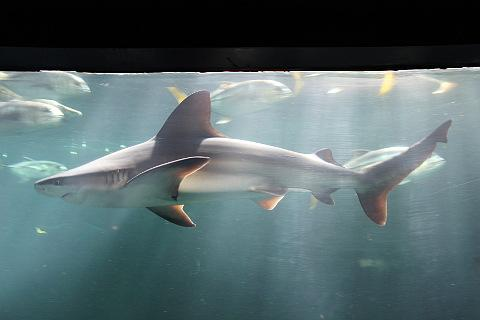 Large tank of sharks at Nausicaa
