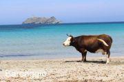 barcaggio-beach-cow