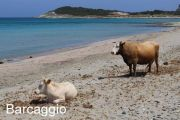 barcaggio-beach-cows