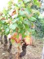 beaune-old-vine-chambertin