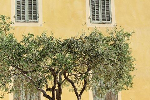 Olive tree in centre of town