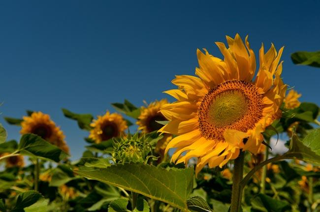 Photo Gallery Of Sunflowers In Southern France