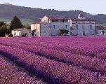 valensole-lavender