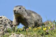 alpinemarmot