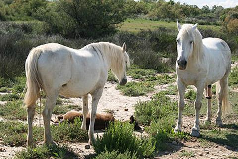 Photo of Camargue horses