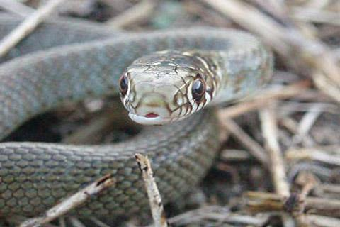 Photo of Grass snake