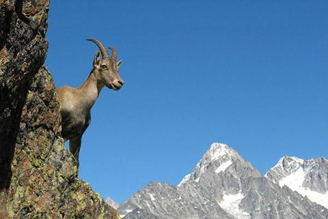 Ibex in Vanoise national park