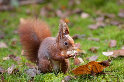 red squirrel, france