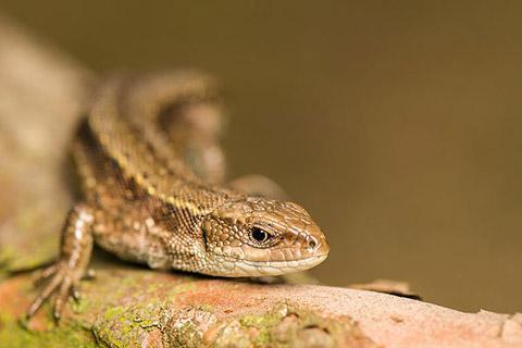 Photo of European wall lizard